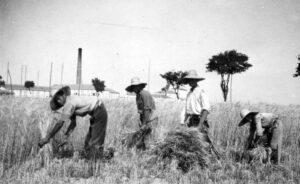 Segadores a mediados del siglo XX